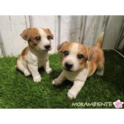 """süße Hundewelpen """"Jack und Rustie"""" aus wetterfestem Polyresin"""